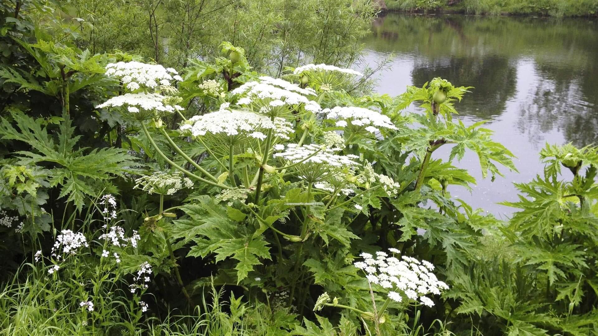 Non native invasive plants